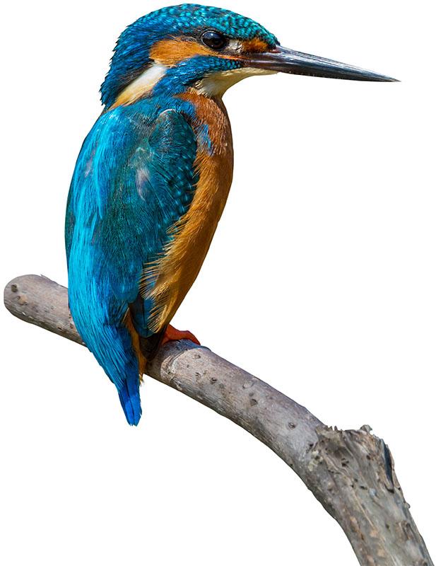 kingfisher against white background